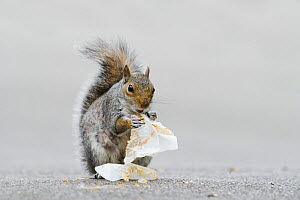 Grey squirrel (Sciurus carolinensis) eating crumbs from cake wrapper. Regents Park, London, UK, May.  -  Terry  Whittaker