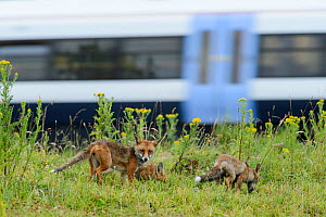 Family of Red foxes (Vulpes vulpes) on railway embankment with train passing behind, Kent, UK, July.  -  Terry  Whittaker