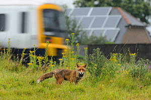 Red fox (Vulpes vulpes) male on railway embankment with train passing behind, Kent, UK, July.  -  Terry  Whittaker