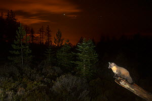 Pine marten (Martes martes) on branch, orange glow in sky behind from the lights of Inverness. Black Isle, Scotland, UK, October. Photographed by camera trap Highly commended in the Habitat category o...  -  Terry  Whittaker