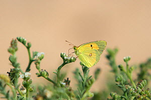 Clouded yellow butterfly (Colias croceus) May, Oman - Hanne & Jens Eriksen
