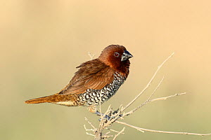 Scaly breasted munia (Lonchura punctulata) perched, Oman, May  -  Hanne & Jens Eriksen