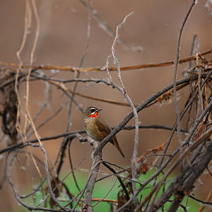 Siberian rubythroat (Luscinia calliope) perched, Thailand, February - Hanne & Jens Eriksen