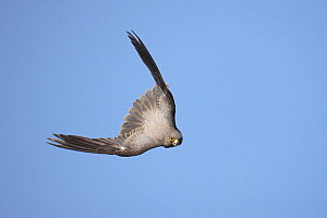 Sooty falcon (Falco concolor) adult in flight, diving, Oman, August - Hanne & Jens Eriksen