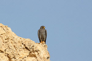 Sooty falcon (Falco concolor) adult on cliff, Oman, August - Hanne & Jens Eriksen