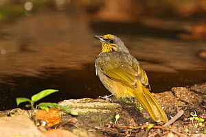 Stripe throated bulbul (Pycnonotus finlaysoni) on ground, Thailand, February  -  Hanne & Jens Eriksen