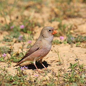 Trumpeter finch (Bucanetes githagineus) male on the ground amongst flowers, Oman, April - Hanne & Jens Eriksen