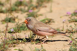 Trumpeter finch (Bucanetes githagineus) male feeding on the ground, Oman, April - Hanne & Jens Eriksen