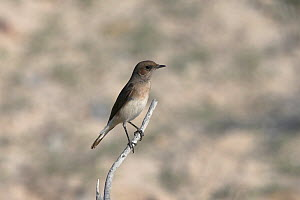 Variable wheatear (Oenanthe picata) female on twig, Oman, December  -  Hanne & Jens Eriksen