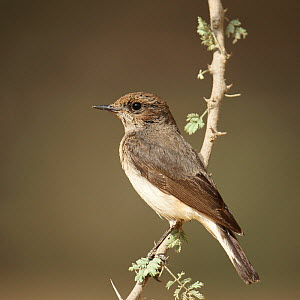 Variable wheatear (Oenanthe picata) female on twig, Oman, January  -  Hanne & Jens Eriksen
