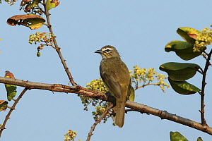 White browed bulbul (Pycnonotus luteolus) on branch, India, February  -  Hanne & Jens Eriksen