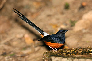 White rumped shama (Copsychus malabaricus) with raised tail, Thailand, February - Hanne & Jens Eriksen