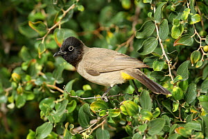 White spectacled bulbul (Pycnonotus xanthopygos) perched, Oman, January - Hanne & Jens Eriksen