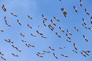 White stork (Ciconia ciconia) flock in flight, Oman, February - Hanne & Jens Eriksen