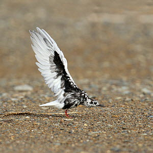 White winged tern (Chlidonias leucopterus) moulting, stretching wings, Oman, April  -  Hanne & Jens Eriksen