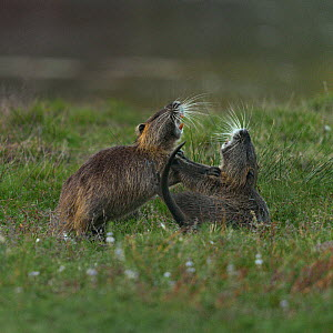 Coypus (Myocastor coypus) fighting, Le Teich, Gironde, France, October - Loic  Poidevin