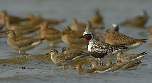 Grey plover (Pluvialis squatarola) juveniles with Bar-tailed Godwit  (Limosa lapponica) and Sanderling  (Calidris alba) Gironde, France, September  -  Loic  Poidevin