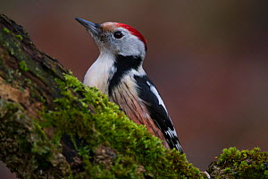 Middle spotted woodpecker (Dendrocopos medius) Rothenburg, Germany, December.  -  Hermann Brehm
