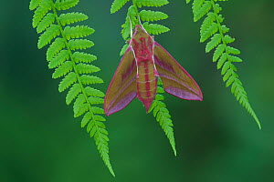 Elephant Hawkmoth (Deilephila elpenor), Brackagh Moss National Nature Reserve, Portadown, County Armagh, Northern Ireland, UK. May.  -  Robert  Thompson