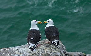 Great black-backed gulls (Larus marinus) facing each other, Great Saltee Islands, County Wexford, Republic of Ireland. May. - Robert  Thompson