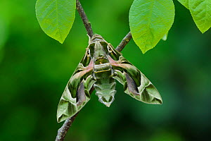 Oleander Hawkmoth (Daphnis nerii) resting, Southern Sicily, Italy.  -  Robert  Thompson