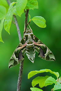 Oleander Hawkmoth (Daphnis nerii) resting, Southern Sicily, Italy. March. - Robert  Thompson