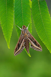 Silver-striped hawkmoth (Hippotion celerio) resting, Grand Canaria, Canary Islands, Spain. October.  -  Robert  Thompson