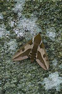 Spurge hawkmoth (Hyles euphorbiae) at rest on an old dry stone wall, Grand Sasso Abruzzo, Italy. May.  -  Robert  Thompson