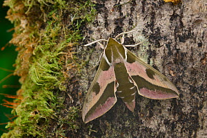Spurge hawkmoth (Hyles euphorbiae at rest on an old decaying tree trunk, Grand Sasso Abruzzo, Italy. May.  -  Robert  Thompson