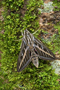 Striped hawkmoth (Hyles livornica) resting, Pyrenees National Park, France. June.  -  Robert  Thompson