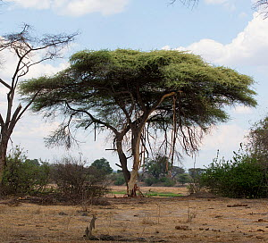 Flat top acacia tree (Acacia abyssinica) damaged by elephants. Elephants get moisture by feeding on the bark.  -  Charlie  Summers
