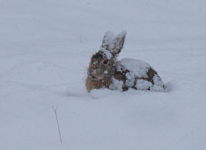 Eastern cottontail rabbit (Sylvilagus floridanus) in snowstorm, south of Hot Springs, South Dakota, USA.  -  Charlie  Summers