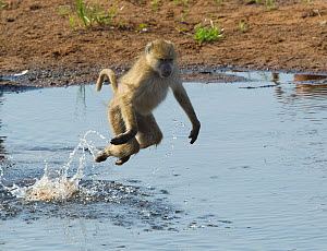 Yellow Baboon (Papio cynocephalus) bounding across a shallow part of the Ruaha River to avoid Crocodiles, Ruaha National Park, Tanzania.  -  Charlie  Summers