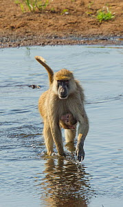 Yellow baboon (Papio cynocephalus) baby clinging to mother as they cross a shallow part of the Ruaha River, Ruaha National Park, Tanzania.  -  Charlie  Summers