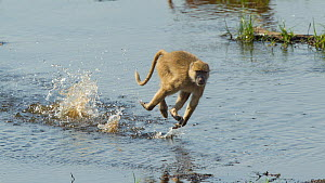 Yellow baboon (Papio cynocephalus) running across a shallow part of the Ruaha River to avoid nearby crocodiles, Ruaha National Park, Tanzania.  -  Charlie  Summers