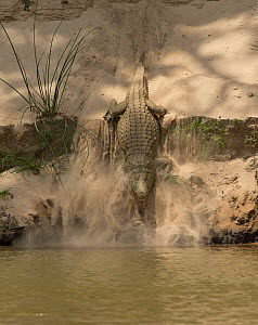 Nile crocodile (Crocodylus niloticus) making its way down sand bank into to the Rufiji Rivre, Selous Game Reserve, Tanzania. - Charlie  Summers