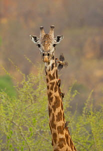 Masai giraffe (Giraffa camelopardalis tippelskirchi) male with red-billed (Buphagus erythrorhynchus) and yellow-billed (Buphagus africanus) oxpeckers on neck, Ruaha National Park, Tanzania.  -  Charlie  Summers