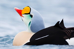 Adult male King eider (Somateria spectabilis) portrait, Batsfjord, Norway, March.  -  Espen Bergersen