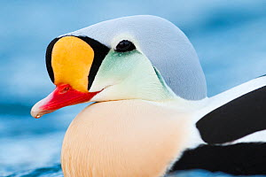 Adult male King eider (Somateria spectabilis) close up portrait, Batsfjord, Norway, March. - Espen Bergersen