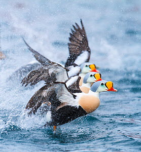 Male King eiders (Somateria spectabilis) three taking-off from water. Batsfjord, Norway, March. - Espen Bergersen