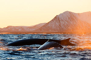 Fin whale (Balaenoptera physalus) and Humpback whale (Megaptera novaeangliae) feeding on herring near the surface, Andfjorden close to Andoya, Nordland, Northern Norway. January.  -  Espen Bergersen