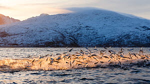 Hundreds of Herring  (Clupea harengus) jumping out of the water to escape bubble-net feeding Humpback whales (Megaptera novaeangliae) attack from below. Kvaloya, Troms, Northern Norway. November. Sequ...  -  Espen Bergersen