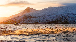 Hundreds of Herring (Clupea harengus) jumping out of the water to escape bubble-net feeding Humpback whales (Megaptera novaeangliae) attack from below. Boat in the background. Kvaloya, Troms, Northern...  -  Espen Bergersen