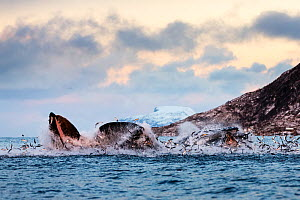 Hundreds of Herring  (Clupea harengus) jumping out of the water when bubble-net feeding Humpback whales (Megaptera novaeangliae) attack from below. Image showing the gap between the upper and lower ma...  -  Espen Bergersen