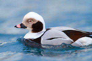 Close-up of male Long-tailed duck (Clangula hyemalis) Batsfjord, Norway. March.  -  Espen Bergersen