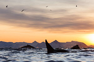 Humpback whales (Megaptera novaeangliae) and Killer whale (Orcinus orca) feeding on a bait ball of Herring. Andfjorden close to Andoya, Nordland, Northern Norway. January. - Espen Bergersen