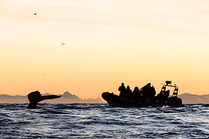 Silhouette of diving Humpback whale (Megaptera novaeangliae) and whale safari tourists in a RIB. Andfjorden close to Andoya, Nordland, Northern Norway. January 2014.  -  Espen Bergersen