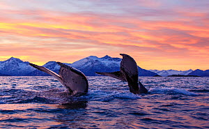 Two Humpback whales (Megaptera novaeangliae) diving during polar night, Kvaloya, Troms, Northern Norway. November.  -  Espen Bergersen
