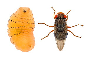 Human botfly (Dermatobia hominis), adult and larva. Cayo District, Belize. Composite image. Meetyourneighbours.net project  -  MYN / Gil Wizen