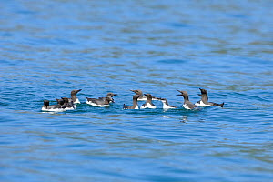 Guillemots (Uria aalge) groups of adults on sea protectively surrounding young from attack by Greater black backed gulls (Larus marinus) off Leyn Peninsula, Gwynedd, North Wales, UK, July. - Mike Potts